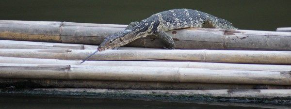 Ein Waran im Fluss in Bangkok; a monitor lizard in the canal in Bangkok