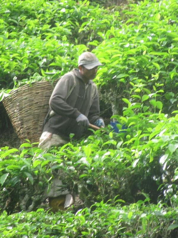 auf unebenen oder schraegen Flaechen wird der Tee immer noch per Hand gepflueckt, on uneven or very steep areas the tea is still harvested by hand