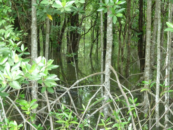 Mangrovenwald auf dem Weg zum Fährhafen bei Satun; mangrove forest on our way to the ferry jetty close to Satun