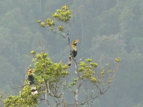 "wir haben Glueck: vom groessten Berg Langkawis aus koennen wir ""hornbills"" (Nashornvogel, Doppelhornvogel) beobachten, from the highest mountain Langkawis we are lucky and get to see hornbills"