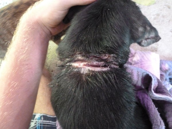 Wunde am Hals von einem Hundewelpen, verursacht durch eine Eisenkette, wound on the neck of a puppy caused by an iron chain