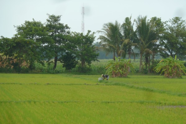 Rice fields in East Java. //// Reisfelder in Ost-Java.