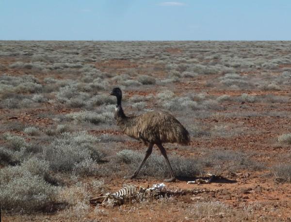 An Emu in the Outback ///// ein Emu im Outback, der australischen Wüste