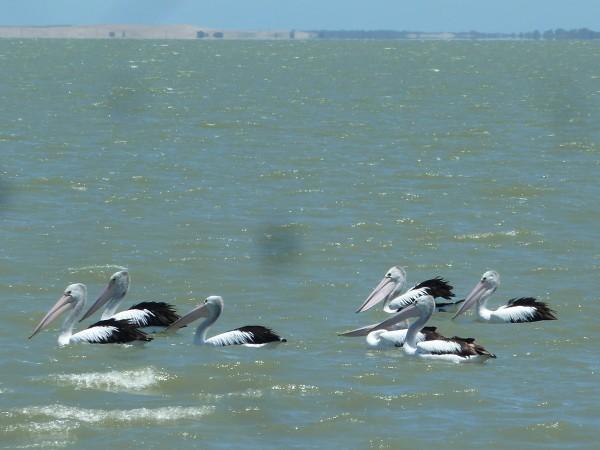 Pelikane im Coorong National Park