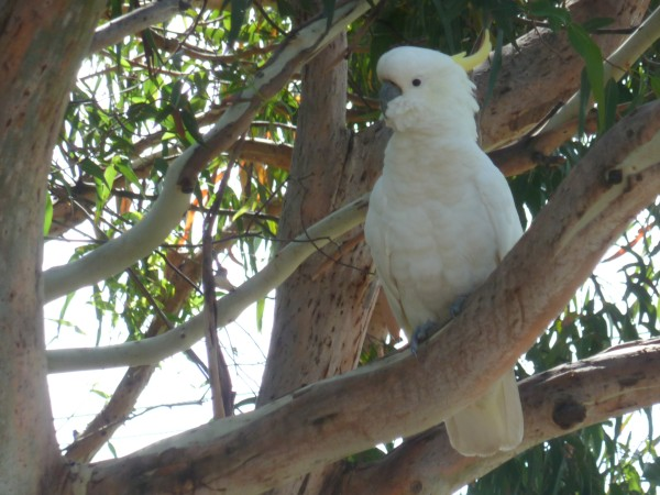 Ein Kakadu