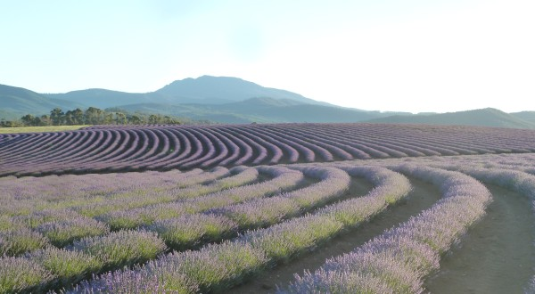 Lavender Fields between Scottsdale and St. Helens ///// Lavendelfelder zwischen Scottsdale und St. Helens